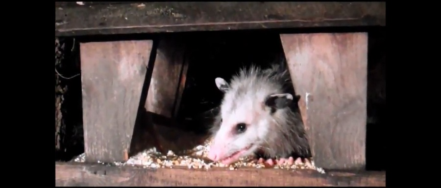 How to Get Rid of Opossums in San Jose CA